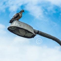 piccione-sul-palo-della-luce-31524096
